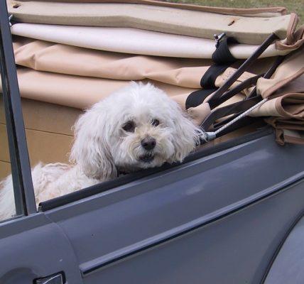 Jak przewozić psa w samochodzie?